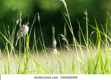Reed Bunting, Scientific name: Emberiza schoeniclus, male Reed Bunting perched in natural habitat of grasses and reeds.  Facing right.  Dark, clean background. Space for copy.  Landscape, horizontal.
