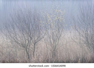 Reed and bushes on misty morning in early spring.