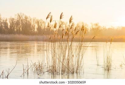 Reed in a field along a frozen lake in winter at sunrise