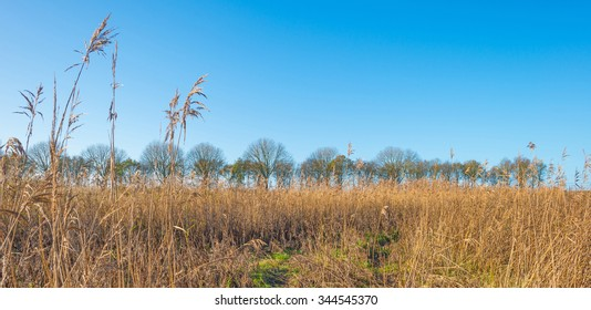 Reed in a field below a blue sky in autumn