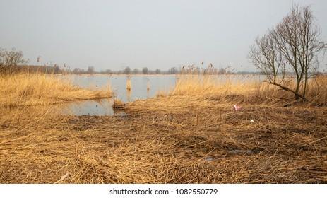 Reed field on bank of river Nieuwe Merwede in Biesbosch National Park, Netherlands