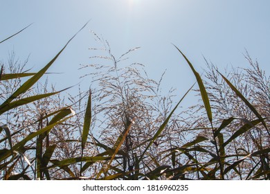 Reed field with the sunshine.