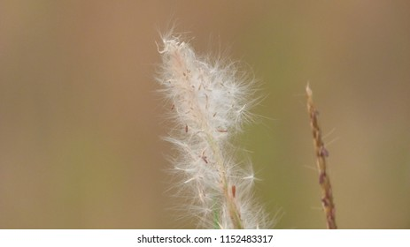 Reed Flower in Indonesia