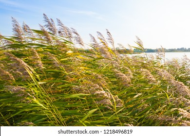 Reed grass dandle in wind at lake in Mecklenburg state (Germany) on sunny day