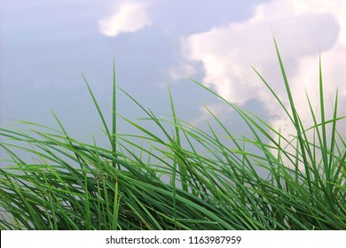 reed grass at the edge of a pond, sky reflecting in water