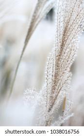 Reed grass fields