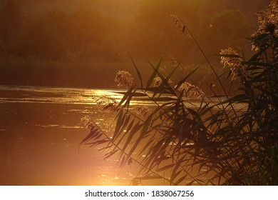 Reed grass flowers by the lake in golden hour