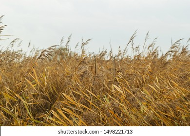 reed grass, reed pipe in front of gray windy sky, Autumn Trave in Northern Germany Freedom