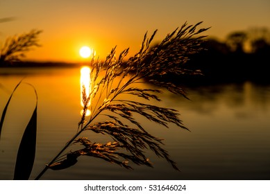 Reed illuminated by the rays of the setting sun on a background of lake and trees silhouette