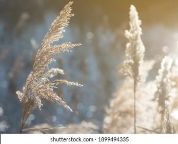 Reed inflorescences close up. Beautiful light and bokeh.