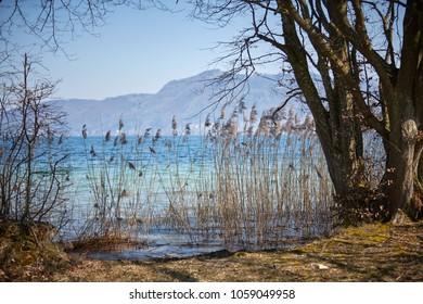 Reed in lake Attersee in Nussdorf Salzkammergut in Austria