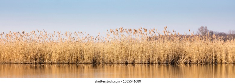 Reed at the lake of the sewage fields