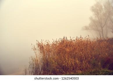 Reed near the lake, misty autumn.