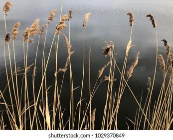 Reed near pond