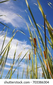 Reed on the water against a blue sky with a special view angle