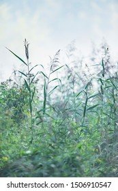 Reed and other vegetation in mist on summer morning.