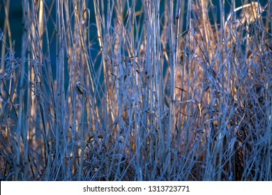 Reed in the Oude Kene nature reserve, the Netherlands
