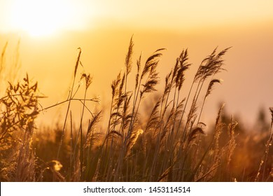 Reed in the rays of a golden sunset as background .