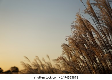reed reeds sunset background gold nature fall Scenery