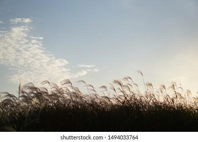 reed season background sunset sky