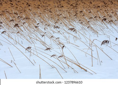 Reed at the shore of Sniardwy Lake in winter, the largest lake in Poland, Masuria Region, Poland