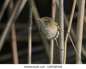 reed warbler [Acrocephalus scirpaceus]