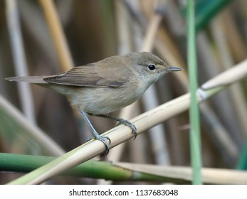 Reed warbler, Acrocephalus scirpaceus, single bird on branch, Hungary, July 2018