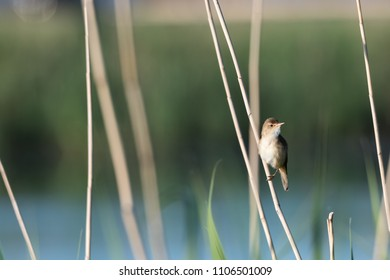 Reed Warbler, Acrocephalus Scirpaceus, sitting in the reeds at the swedish island Oland