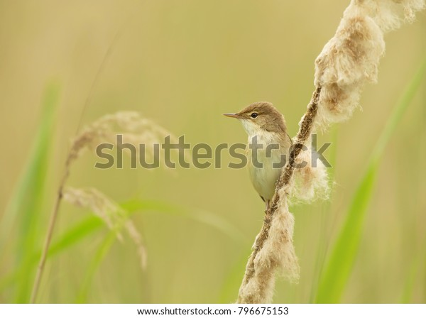 Reed Warbler Perching On Reed Uk Stock Photo Edit Now 796675153