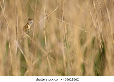 A reed warbler sings a song.