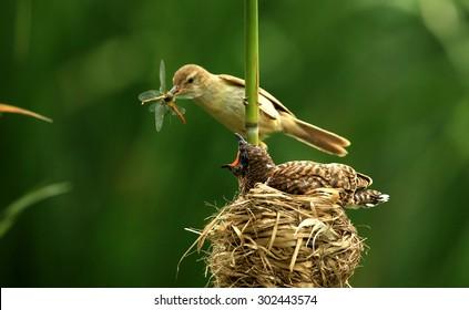 Reed Warbler tending Cuckoo