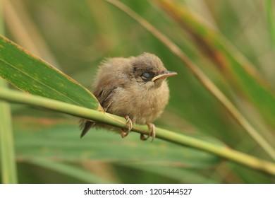Reed warblers baby