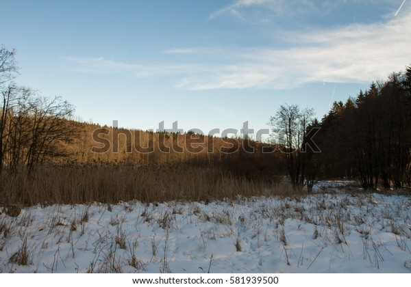 Reed in winter.