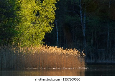 Reedbed with a sunspot against a dark forest