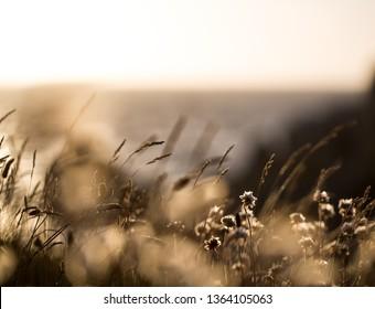 Reedgras at the sea shore