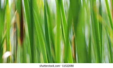 reeds background