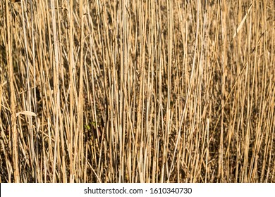 Reeds background. Wild grass next to water in nature.