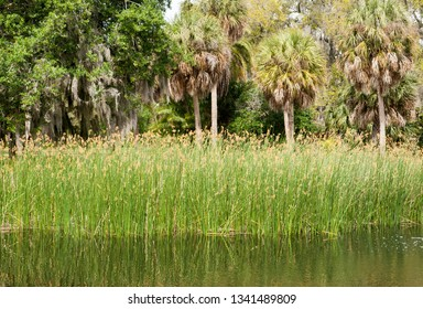 Reeds by the pond and palm trees in Sarasota city public park (Florida).