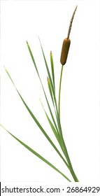 Reeds and cattail plant isolated against white background
