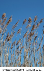 Reeds in daylight and a clear blue sky