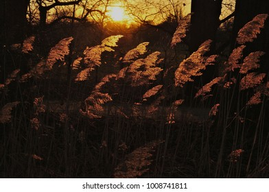 reeds in the evening