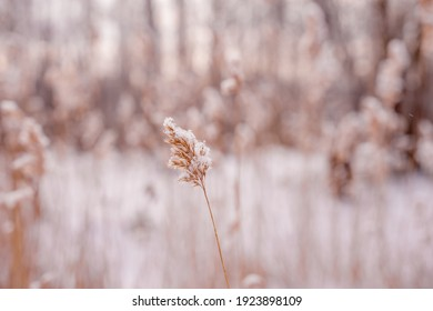 reeds in a field covered with snow during winter sunset,focus on reeds in the center
