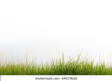 reeds grass isolated on white background and copyspace.