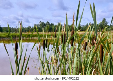reeds growing on the shore of a pond in a village in summer