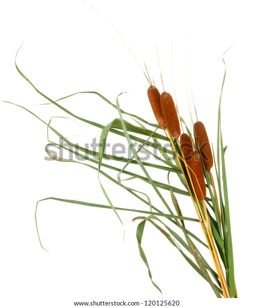 reeds, isolated on white