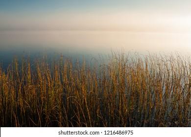 Reeds in lake at dawn