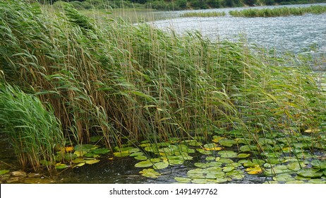 reeds in the lake, green reeds in the lake, reeds plant on the edge of abant lake,