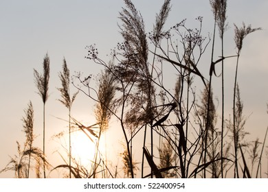 reeds on a sunset background