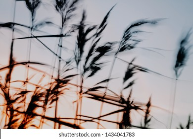 reeds on a sunset, natural background, blur motion effect