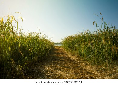 Reeds in the path